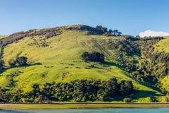 Овцы и выгоны в Новой Зеландии Стоковое Фото