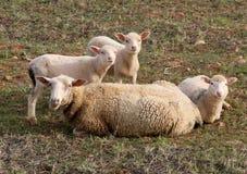 овцы и икры в траве Стоковые Изображения RF