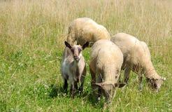 Овцы и коза пася Стоковые Фотографии RF