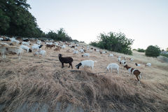 Овцы и козы есть траву на холме горы во время захода солнца в холмах Agoura, Калифорнии Стоковое фото RF