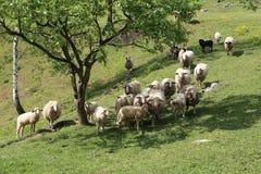 Овцы и козы пасут в выгоне Стоковые Фото