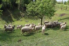 Овцы и козы пасут в выгоне Стоковое Изображение