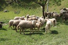 Овцы и козы пасут в выгоне Стоковое фото RF