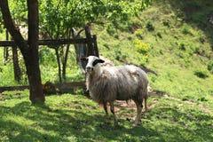 Овцы и козы пасут в выгоне Стоковые Изображения