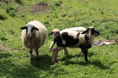 Овцы и козы пасут в выгоне Стоковое Фото