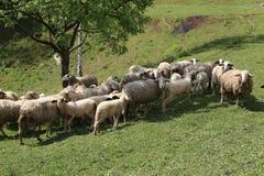 Овцы и козы пасут в выгоне Стоковая Фотография RF