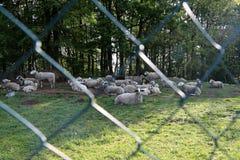 Овцы и козы пасут в выгоне Стоковое Изображение RF