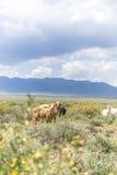 Овцы и козы пася в прерии Стоковое Изображение RF