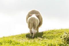 Овцы и овечка в горе Стоковая Фотография RF