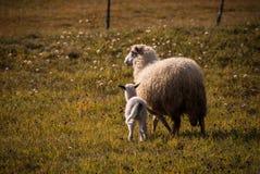 Овцы и овечка Стоковые Изображения