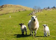 Овцы и овечки в ферме горы welsh Стоковое Изображение