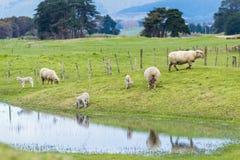 Овцы и овечки Новой Зеландии Стоковые Фото