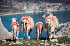 4 овцы и овечки с поражать красные маркировки пася на скале стоковое фото rf