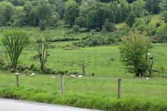 Овцы и скотины Стоковые Фотографии RF