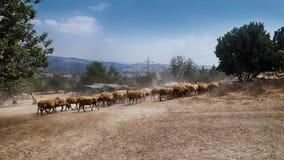 Овцы идут домой стоковые фотографии rf