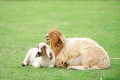 Овцы и lambkin мати стоковое изображение