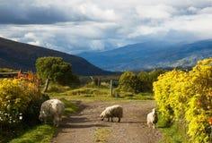 Овцы Котопакси в долине горы подъездной дороги обозревая стоковая фотография rf