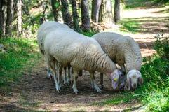 Овцы которые пасут свободно Стоковое Фото
