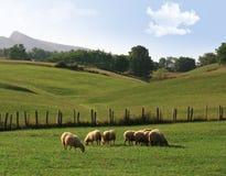 овцы лужка Стоковые Фото