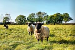 овцы лужка Стоковые Изображения RF