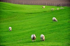 овцы лужка Стоковые Изображения