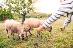 Овцы малой девушки подавая на ферме Стоковые Фото