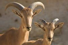 овцы мати barbary младенца Стоковые Изображения