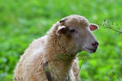 Овцы младенца портрета ягнятся пасущ траву и листья Стоковые Изображения RF