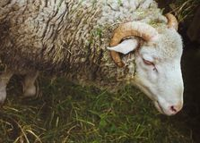 Овцы намордника крупного плана Стоковые Фотографии RF
