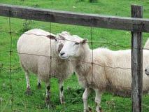 Овцы на вершине холма в Ньюфаундленде Стоковые Фотографии RF