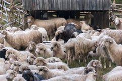 Овцы на выгоне горы Стоковое Фото