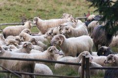 Овцы на выгоне горы Стоковые Изображения RF