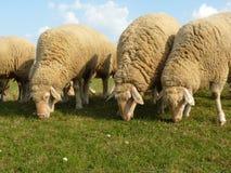 3 овцы на выгоне стоковые фотографии rf