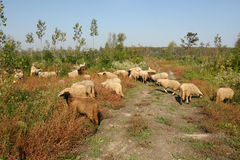 Овцы на выгоне Стоковое Изображение RF