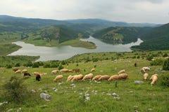 Овцы на выгоне Стоковые Фото