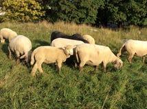 Овцы на выгоне Стоковая Фотография