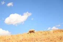 Овцы на высокой горе Стоковые Фото