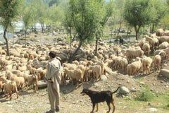 Овцы на горе стоковая фотография