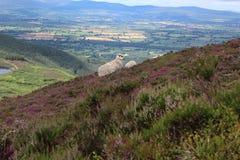 Овцы на горе Стоковое Изображение RF