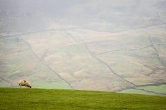 Овцы на горном склоне Стоковые Фотографии RF