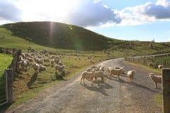 Овцы на дороге стоковая фотография rf
