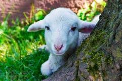Овцы на дереве стоковое изображение rf