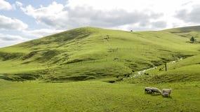 Овцы на зеленом холме стоковое изображение rf
