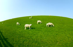 Овцы на злаковике Стоковые Изображения RF