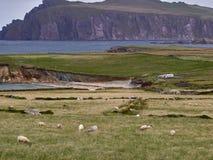 Овцы на ирландском западном побережье Стоковые Фотографии RF
