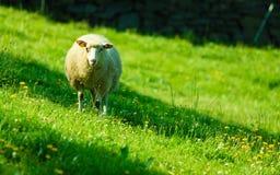 Овцы на красивом луге горы в Норвегии Стоковые Фотографии RF