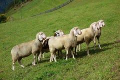 Овцы на луге Стоковые Фото