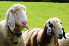 2 овцы на луге Стоковая Фотография