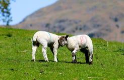 2 овцы на луге стоковое фото