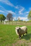 Овцы на местной ферме с канереечным горизонтом причала Стоковое Фото